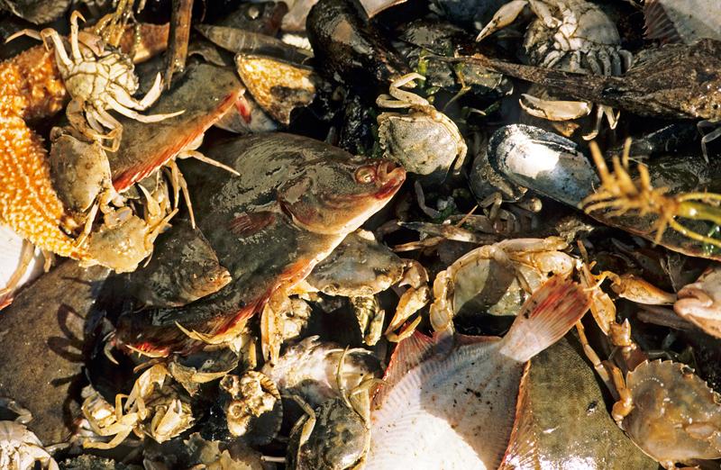 zu viel beifang bei der krabbenfischerei tauchen. Black Bedroom Furniture Sets. Home Design Ideas