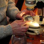 Die Schnecken werden unter dem Stereoskop untersucht. Foto: Scubapixel/Christian Skauge