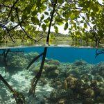 Mangroven sind immer ein ganz besonderer Tauchspot. Foto: Stephen Wong and Takako Uno