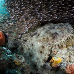Ein Wobbegong (Fransen-Teppichhai). Foto: Stephen Wong and Takako Uno