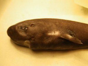 Pocket Shark Up Close 2 (Credit_ M. Grace, NOAA-NMFS-SEFSC-Mississippi Laboratories).JPG