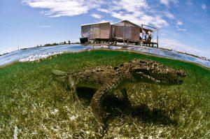 Krokodilbegegnungen im Banco Chinchorro Bisophere Reserve. Foto: Extratour