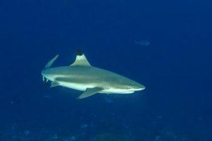 Sieht man auf der Süd-Halmaheratour häufig: Schwarzspitzenriffhai. Foto: Reisecenter Federsee