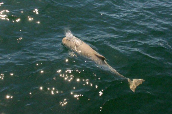 Der weiße Schweinswal beim Luftholen. Foto: Peter Hoffmann