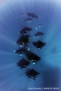 Reef-Manta-Ray-Manta-alfredi-Hanifaru-Bay-Baa-Atoll-Maldives-©-Guy-Stevens-Manta-Trust-2014