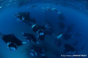 Reef Manta Ray, Manta alfredi, Mass Feeding Event, Hanifaru Bay, Baa Atoll, Maldives © Guy Stevens, Manta Trust