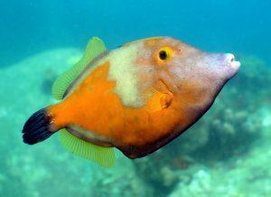 Weißflecken-Feilenfische sind neugierig und häufig paarweise am Riff anzutreffen. Foto: M. Krüger