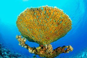 Tischkorallen mögen exponierte Stellen am Riff und lassen sich deshalb gut vor dem Blau des Wasser fotografieren. (Herbert Frei)