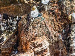 Seevögel auf Helgoland bauen ihre Nester aus Geisternetzen (W. Wichmann)