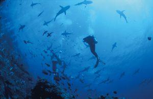 2_Sharks_OspreyReef