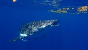 Die harmlosen Riesen der Ozeane können bis zu 12 Tonnen schwer werden