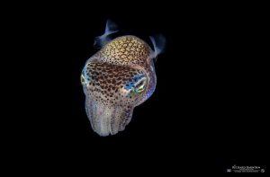 Solche Zwertintenfische kann man beim Blackwater Dive erleben.