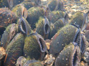 Weltweit zählen Muscheln zu den gefährdetsten Arten überhaupt (Geist/TUM).
