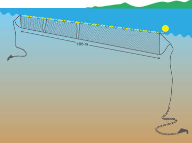 Die Kiemennetze sind 214 Meter lang, sechs Meter breit und werden 400 Meter vor der Küste mit Bojen und Ankern installiert.