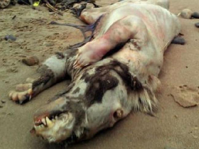 Pferd, Schwein oder Dachs? Das Biest von Tenby vereint eigenschaft mehrerer Tierarten.