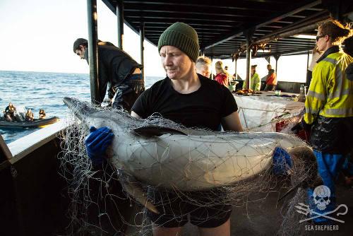 Ein Delfin hat sich in einem illegalen Treibnetz verfangen. Foto: Eliza Muirhead/Sea Shepherd