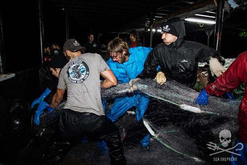 Ziehen alle an einem Strang: Sea Shepherd Mitglieder ziehen ein illegales Treibnetz aus dem Meer. Foto: Eliza Muirhead/Sea Shepherd