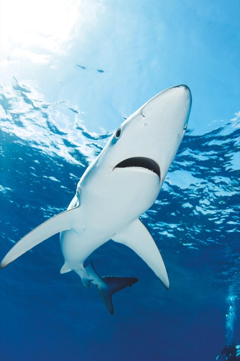 Haie In Australien