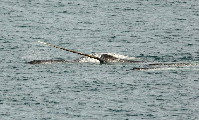"""Die """"Einhörner der Meere"""" werden in Europa nur ganz selten gesichtet. Foto: WDC"""