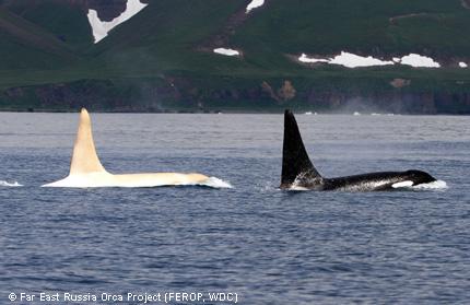 """""""Iceberg"""" lebt in einem Familienverbund mit 13 anderen Tieren. Foto: Far East Russia Orca Project (FEROP, WDC)"""