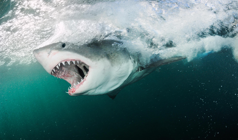 Die Größten Haie