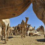 Kamele sind das bevorzugte Fortbewegungsmittel im Wade el Gemal Nationalpark. Foto: Francesco Tomasinelli/www.isopoda.net