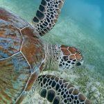 Schildkröten lassen sich ebenfalls an den Riffen entdecken.Foto: Francesco Tomasinelli/www.isopoda.net