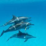 An den Riffen Marsa Alams finden sich viele Delfine. Foto: Manfred Bortoli/www.ideavideo.it