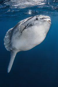 Faszinierende Mondfische: Die Tiere können riesig werden. Foto: Greg Lecoeur