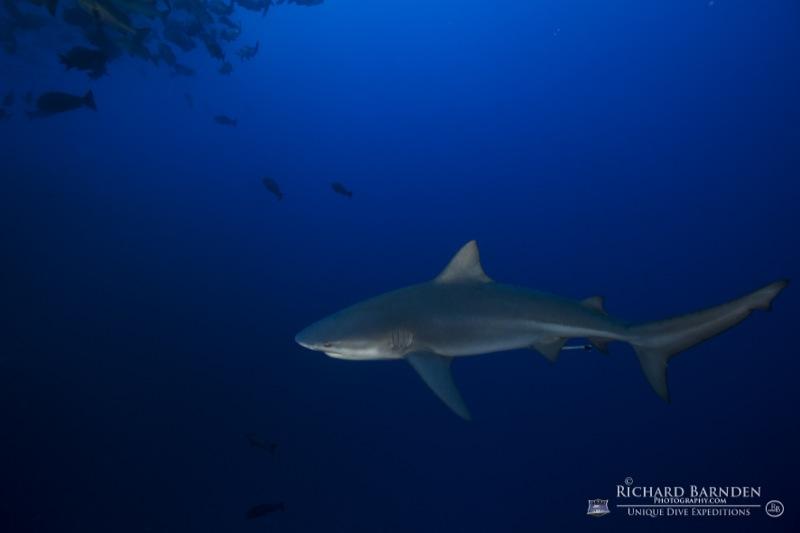 Die kleineren Fische locken auch die größeren Jäger der Meere. Foto: Richard Barnden