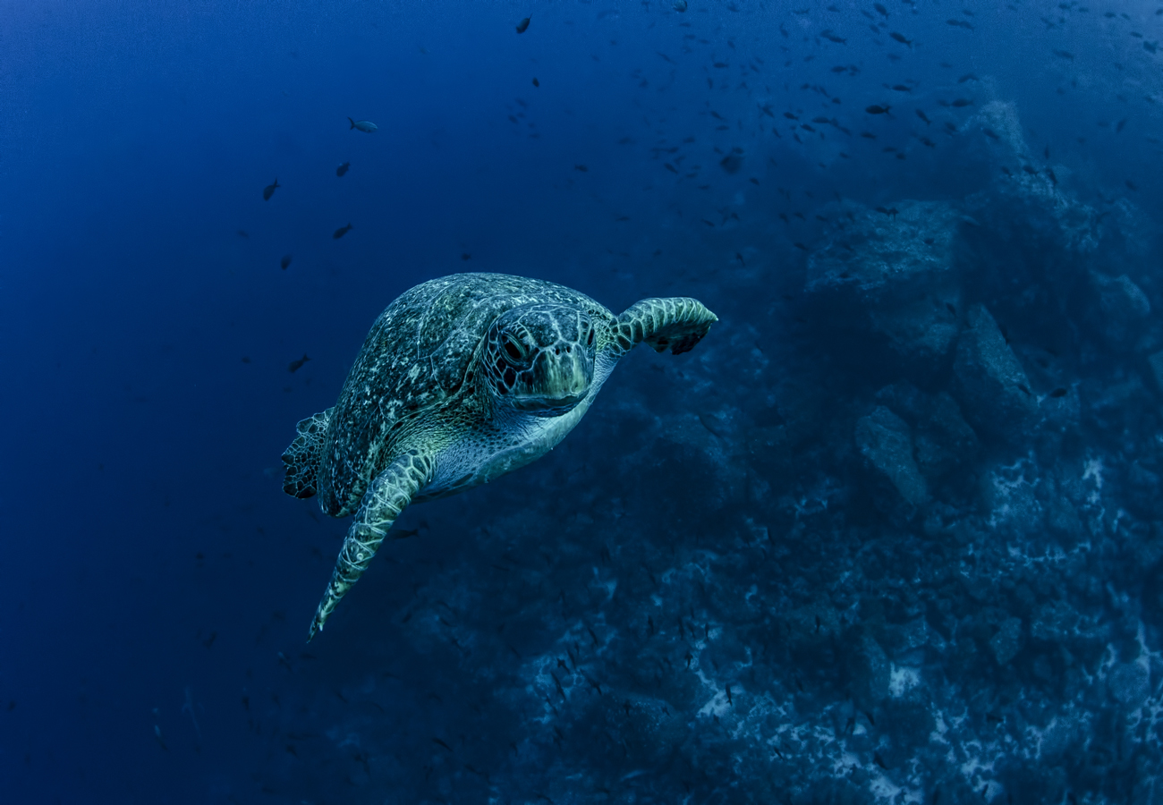 DIe Galapagosinseln sind ein Naturreservat und für viele Tiere wie Meeresschildkröten ein Rückzugsort