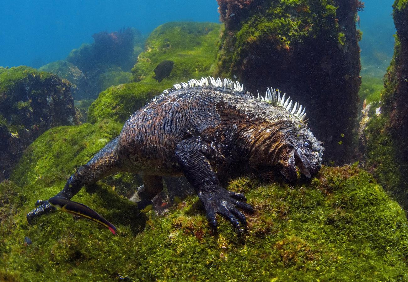 Nur auf den Galapagosinseln leben die tauchenden Meeresechsen