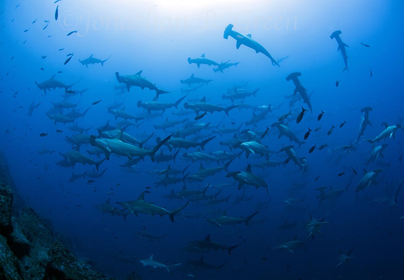Das Highlight von Galapagos sind die riesigen Hammerhai-Schwärme