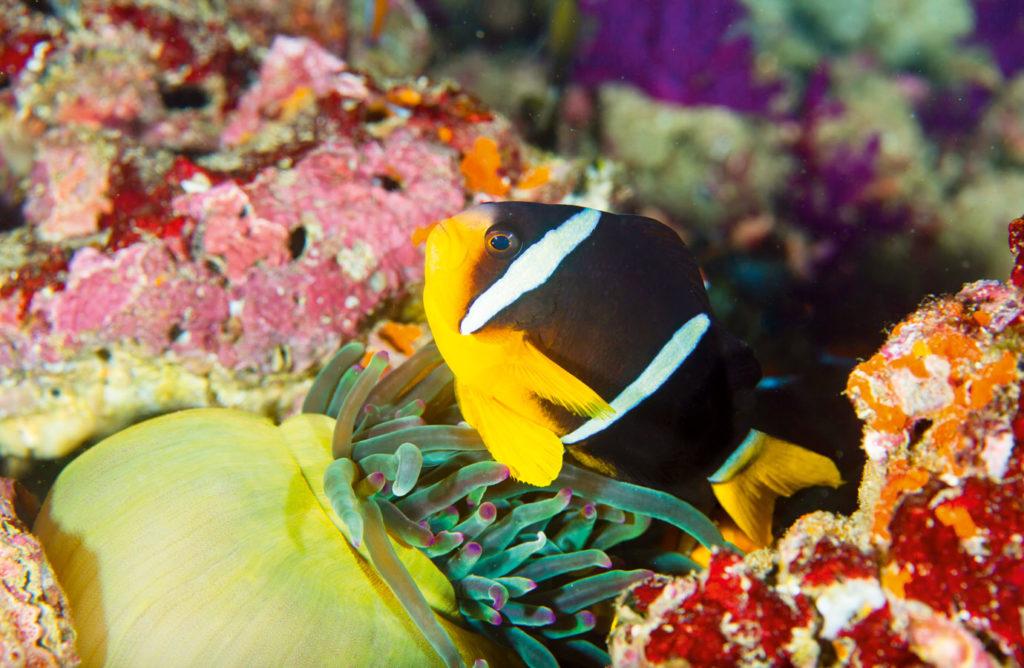 Niedliche Anemonenfische tummeln sich im Riff. Foto: Liquid Light/GettyImages