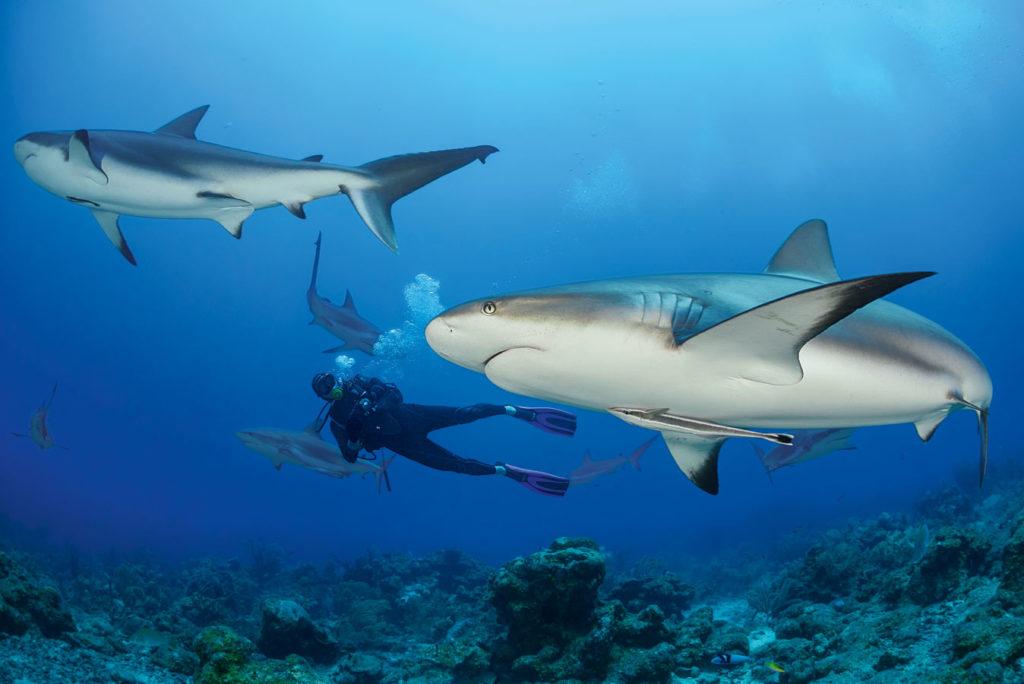 Die Hai-Tauchgänge vor Roatán bringen den Puls zum Rasen. Foto: W. Pölzer