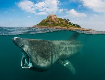 Riesenhai: der große Bruder des Weißen Hais