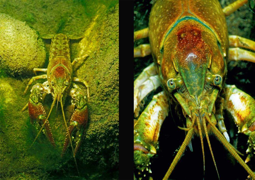 Wenn Kaliko-Krebse in Gewässer eindringen, in denen keine Fische leben, hinterlassen sie eine Wüste Gobi. Foto: H. Frei