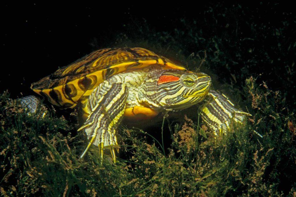 Schmuckschildkröten verdrängen die unter anderen die Europäische Wasserschildkröte. Außerdem sind sie extrem gefräßig. Foto: H. Frei
