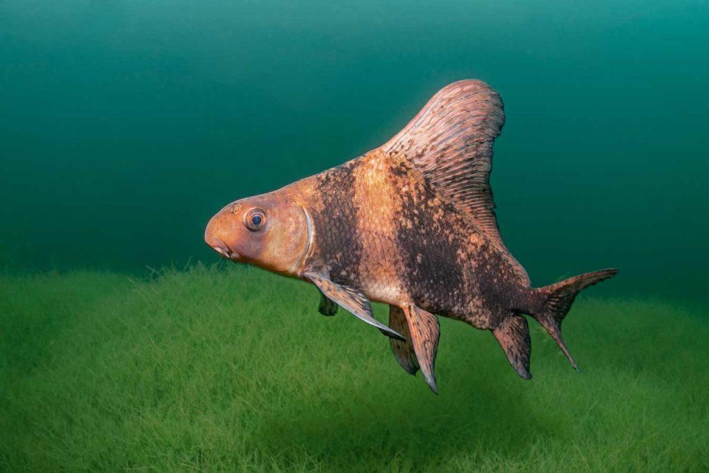 Wimpelkarpfen sind harmlose Kleinode, die man nur vereinzelt in Baggerseen mit wenig Raubfischbestand hin und wieder antreffen kann. Foto: H. Frei
