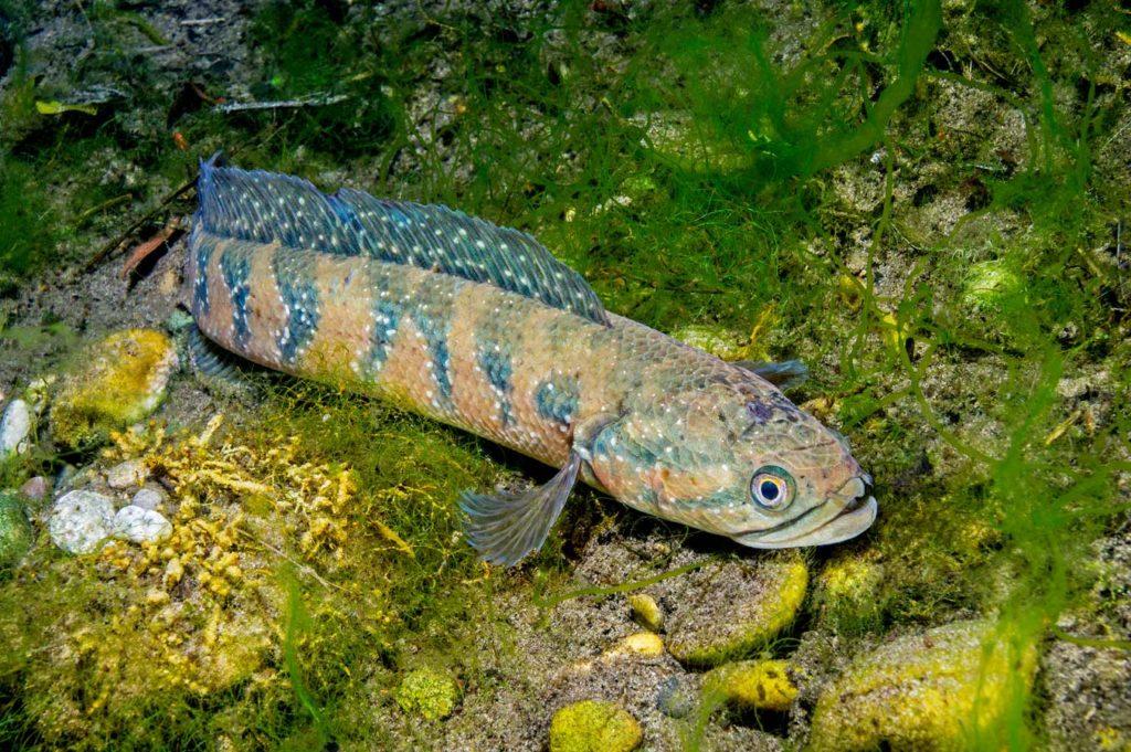 Schlangenkopffisch: Über ihre Schädlichkeit ist bei uns noch wenig bekannt. Man weiß auch nicht genau, ob sie kalte Winter überleben. Foto: H. Frei