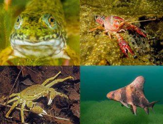Invasoren: Wie eingewanderte Tierarten unsere heimischen Seen und Flüsse erobern