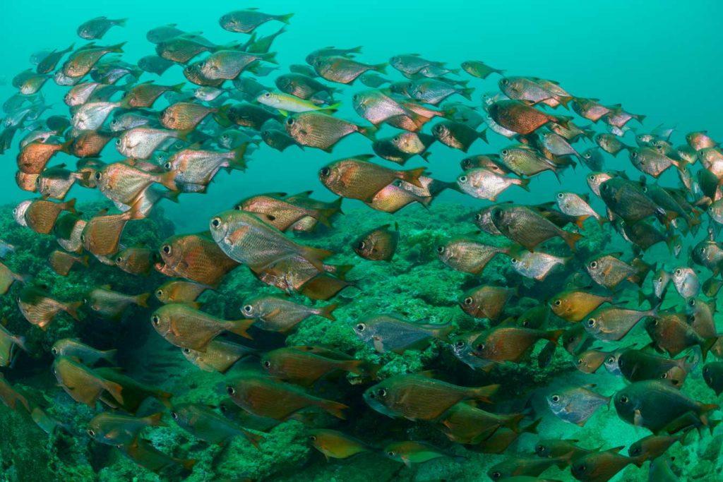 Im Trupp unterwegs: Beilbauchfische. Foto: W. Pölzer