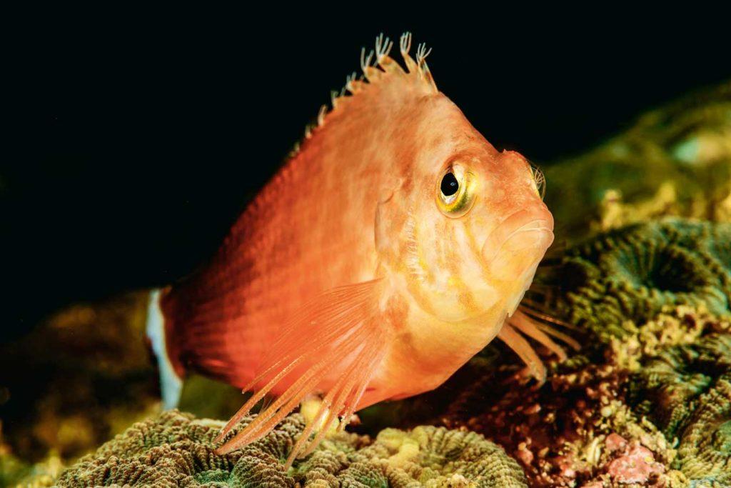 Büschelbarsche sieht man in Hülle und Fülle. Sie sitzen gern auf Korallen und beobachten die Umgebung. Foto: W. Pölzer
