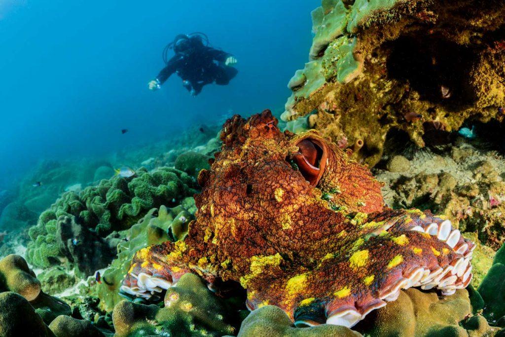 Ein großer Krake inspiziert das Riff. Foto: W. Pölzer