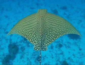 Great Barrier Reef: Sichtung von einem extrem seltenen Adlerrochen