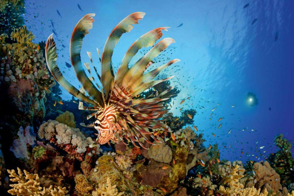 Ein prächtiger Rotfeuerfisch sucht im Riff nach Fressbarem. Mit aufgestellten Flossenstrahlen versucht er, seine Beute in die Enge zu treiben, um dan zuzuschnappen. Foto: W. Pölzer