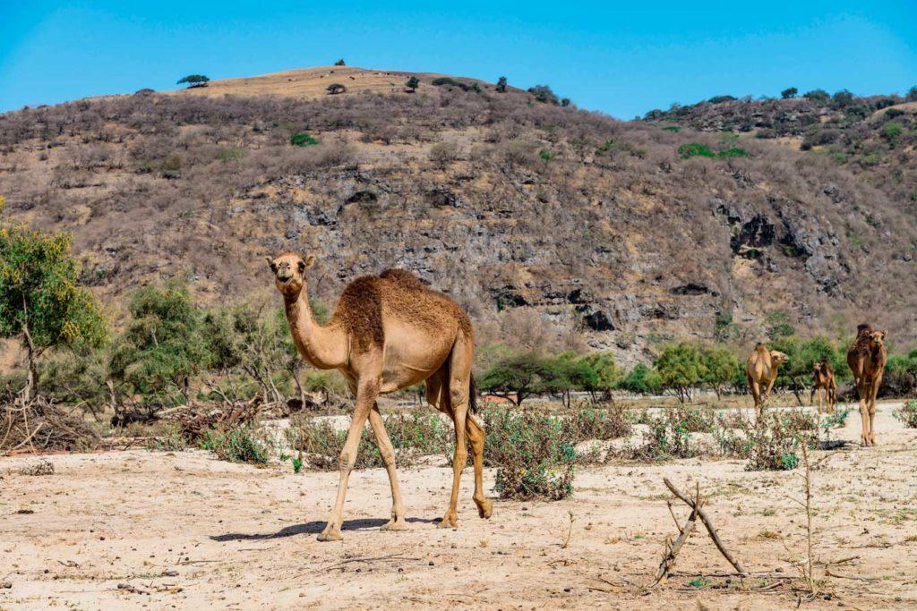 Im Wadi Darbat leben auch wilde Kamele. Foto: W. Pölzer