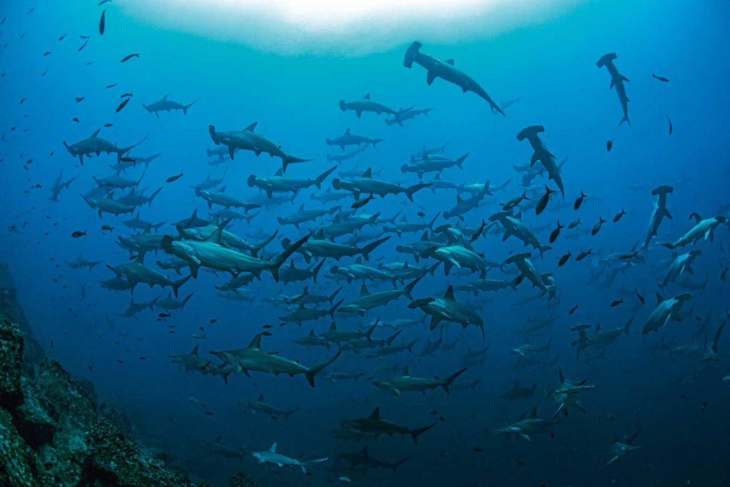 Die großen Hammerhaischulen gehören zu den absoluten Highlights von Galapagos. Foto: Galapagos Shark Diving