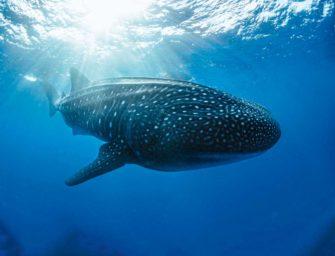 Tauchurlaub und Haie schützen auf Galapagos