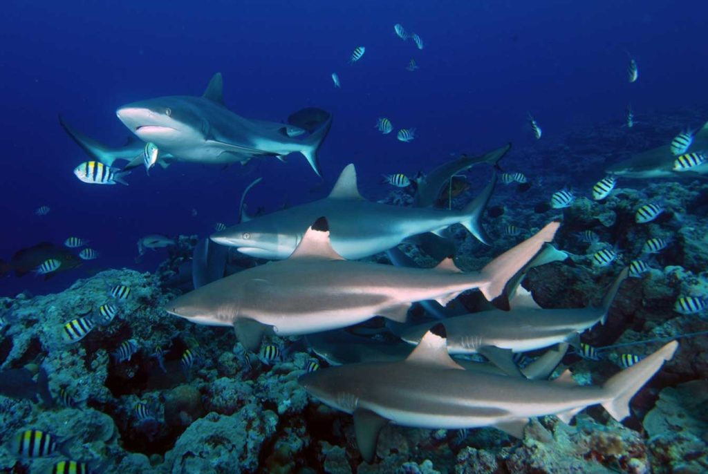 Am Spot Vertigo werden Graue und Schwarzspitzenriffhaie angelockt und kommen Tauchern neugierig näher. Foto: D. Brinckmann